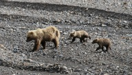 Momma Griz and her cubs from the bus!