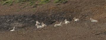 Dall Sheep dotting the hillsides