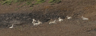 Dall Sheep dotting the hillsides